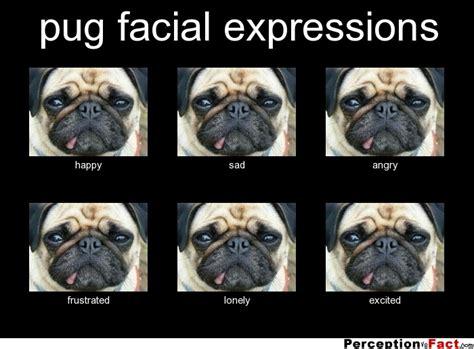 Depressed Pug Meme - sad pug meme memes