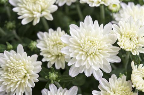 white chrysanthemum flower head closeup detail stock image