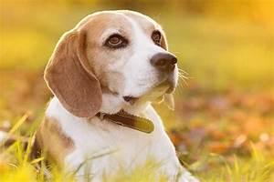 99 Beagle Food Chart L2sanpiero