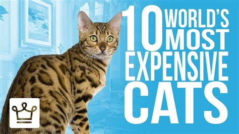 expensive cat most breeds