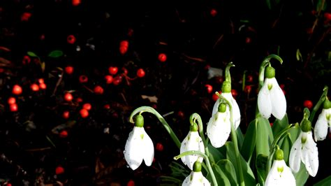 snowdrop wallpapers hd