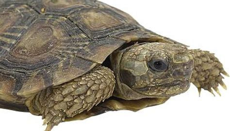 do turtles shed their shells what does it when a turtle sheds animals me