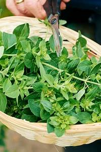 Oregano  Health Benefits  Uses  And Side Effects