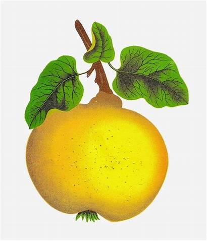 Quince Clipart Fruit Clip Botanical Digital Graphics
