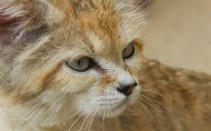 sand cat for sand cat wallpapers hd beautiful wallpapers collection 2014