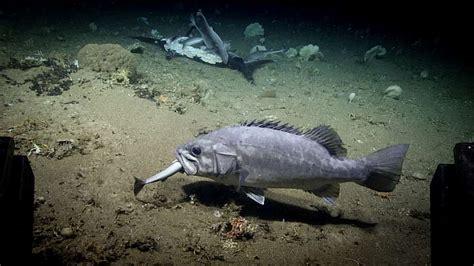 shark fish eating sea deep wreckfish noaa ocean grouper rare okeanos feeding ship explorer exploration office captured bite eat eats