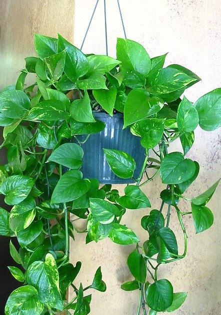 Zimmerpflanzen Bilder Und Namen by Plants Foliage Plants House Plants Blumengarten Florist
