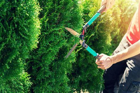 wann schneidet thuja wann die thuja schneiden 187 der beste zeitpunkt lebensbaum