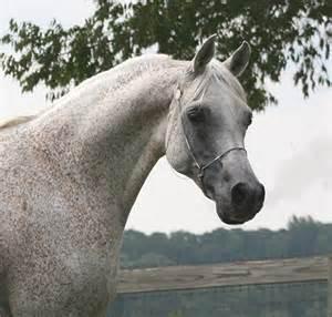 ANSATA EL SHAHRAF - Arabian Stallions at Stud - Arabian ...