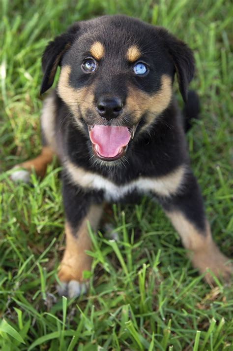 information about the rottweiler siberian husky mix