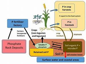 The Phosphorus Cycle And Human Management Of Soils