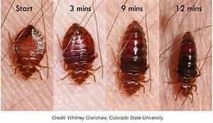 bed bug pictures at bed bug supply With can bed bugs go away on their own