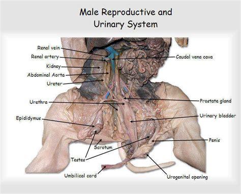 Fetal Pig Dissection Worksheet Homeschooldressagecom