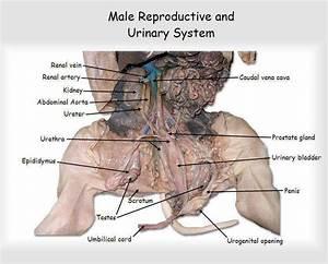 Fetal Pig Dissection Worksheet