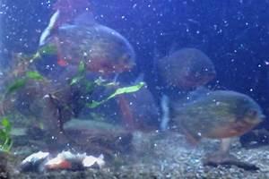 Animal news 2017: Piranhas tear fish to shreds in shocking ...