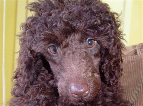 coco   week  female poodle puppy