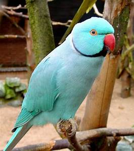 Indian Ringneck | Pajaros exoticos | Pinterest | Beautiful ...