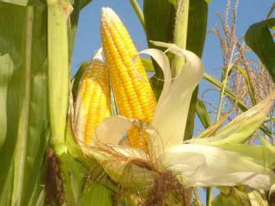 rahasia menanam jagung hasil berlimpah