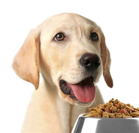 black lab dog food goldenacresdogscom