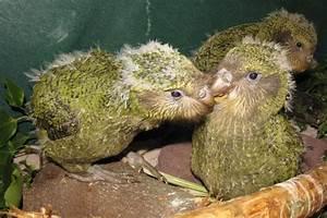 Baby Kakapo