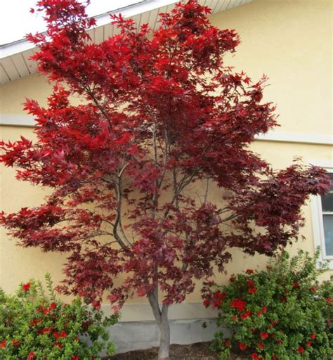 types of maple trees with pictures types of japanese maples the home depot community