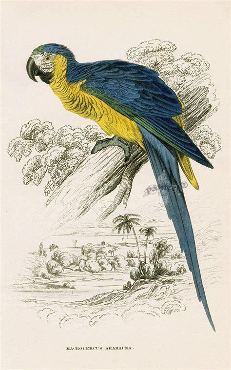 edward lear parrot prints  natural history  parrots