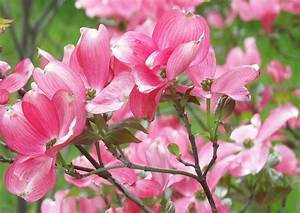 Rosa Blüten Baum : cornus kousa rosabella rosa blumenhartriegel ~ Yasmunasinghe.com Haus und Dekorationen