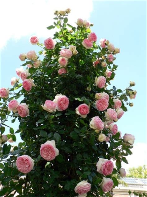 care of roses in taking care of roses cut shrub winter fall climbing miniature how to