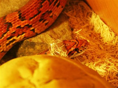 Corn Snake Shedding Time by Corn Snake Reptile Events