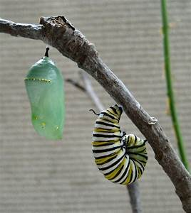 Free Butterfly Caterpillar Photos