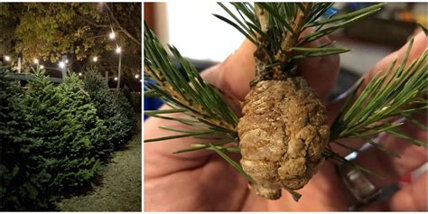 do real christmas trees have bugs how to spot praying mantis egg nests in your tree viral ootheca photo
