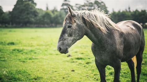 horses pony connemara horse kenny grey ponies irish seizure gino decrease before ireland farm td welcomes breeds rocky profit long