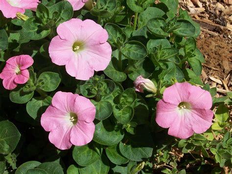 Petunien Garten Pflanzen by Petunien Anbauen H 228 Ngende Und Stehende Petunien Im Garten