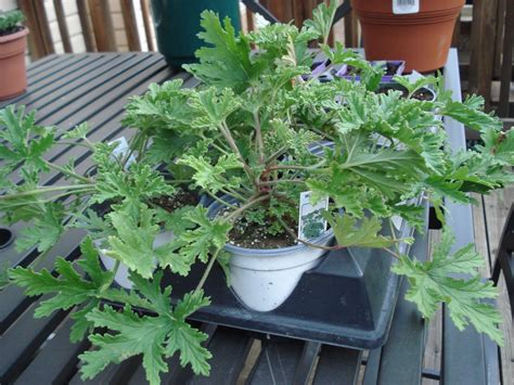 bug repellent plant bumble lush garden citronella plants grow your own mosquito repellent