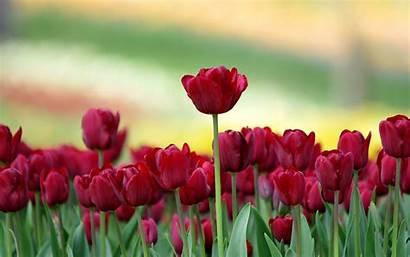 Tulip Flowers Backgrounds Wallpapers Flower Tulips Pixelstalk