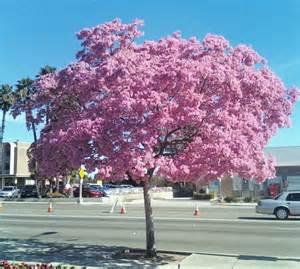 Flowering Pink Trumpet Tree