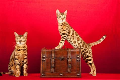 10 kaķu šķirnes, kas īpaši piemērotas alerģiskiem ...