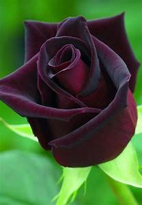 Rosa 'Black Baccara'- The 'Black Baccara' rose is one of ...