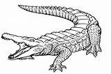 Coloring Alligator Pages Printable Print sketch template