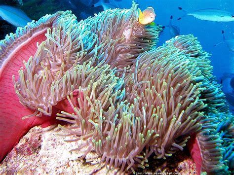 anemone de mer aquarium an 233 de mer biologie aquarium reproduction