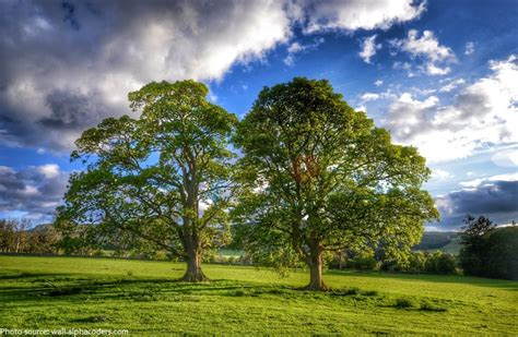Background Images Of Trees by Interesting Facts About Oak Trees Just Facts