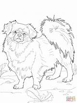 Coloring Spaniel Tibetan Pages Dog Printable Dogs Clipart American Pitbull Bulldog Poodles Drawing Mastiff Drawings Terrier Colorings Supercoloring Horse Poodle sketch template