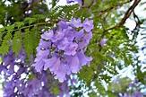 Jacaranda mimosifolia / IPlantz
