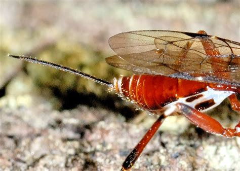 red ichneumon wasp paraphylax anax
