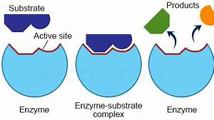 Enzymes: A* understanding for iGCSE Biology 2.8 2.9 2.10 ...