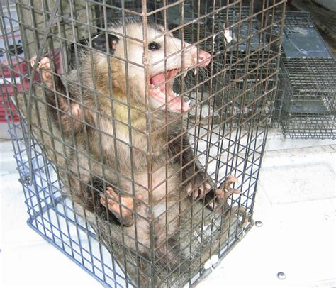 the trapped opossum how to get rid of opossums steps and tips