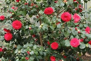 Camellia Japonica Winterhart : camellia japonica wikipedia ~ Eleganceandgraceweddings.com Haus und Dekorationen