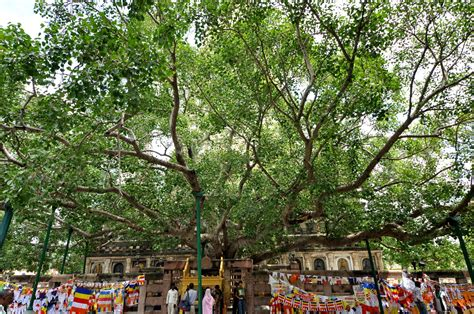 bodhi tree images bodhi tree www pixshark com images galleries with a bite