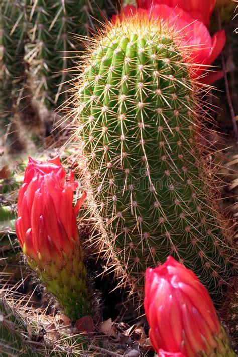 kaktus mit blüten kaktus mit roten blumen stockfoto bild braun orange 9827602