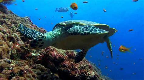 sea turtle  wallpaper youtube
